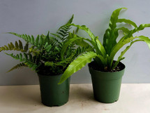 "4"" POTTED FERNS ASSORTED"