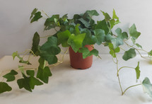 "4"" POTTED GREEN IVY"