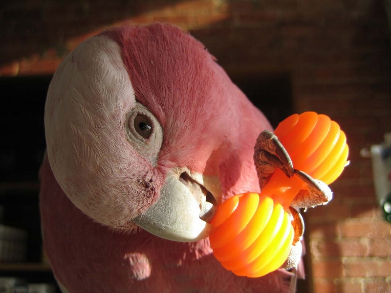 Parrot Foot Toys 120