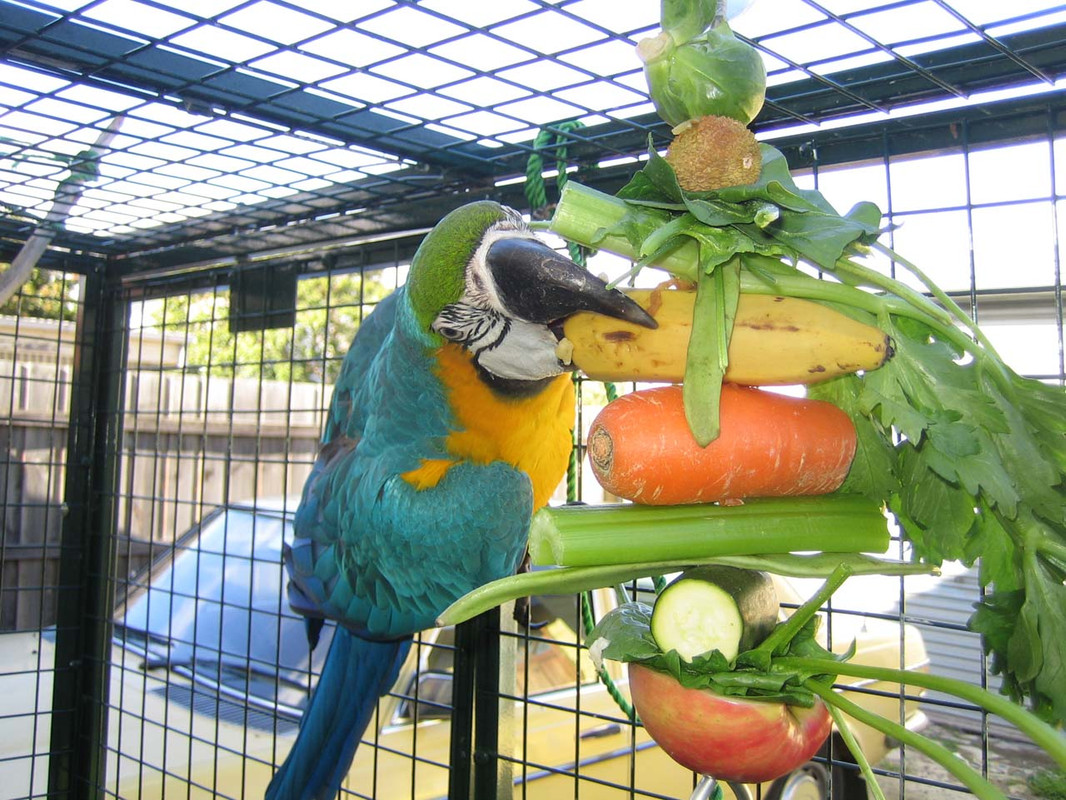 """Macaw with the 12"""" Large Ball Kabob"""