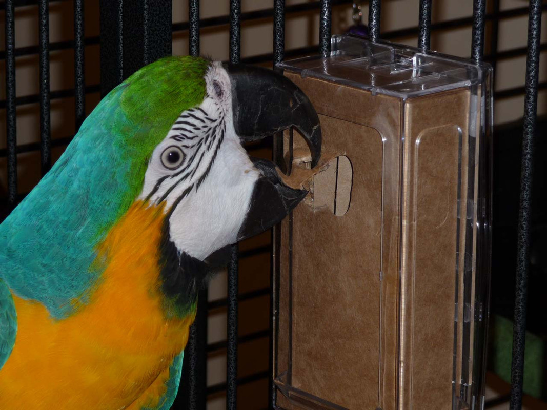Blue and Gold Macaw digging in to a chipboard box in the Large Vertical CFS Dispenser
