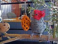 Gang Gang Cockatoo with the Nutcase foraging toy