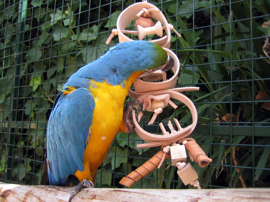 Blue and Gold Macaw with the Leather Treasure