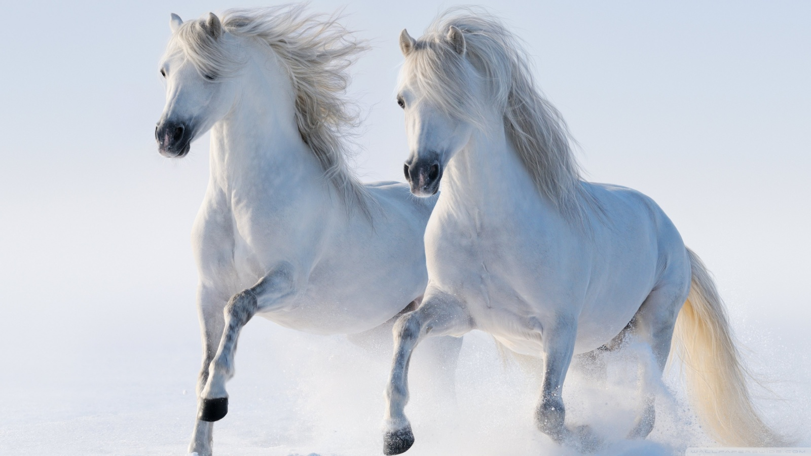 White Horses in Snow