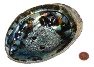 5 to 6 inch Abalone Shell
