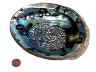 6 to 7 inch Abalone Shell