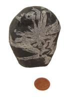 Chrysanthemum Flower Stones - Specimen P