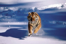 Siberian Tiger Running In the Snow Photo Art Print Poster 36x24