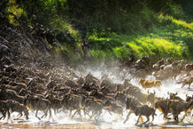 Lion Causes Commotion Among the Wildebeest Photo Art Print Mural Giant Poster 54x36 inch