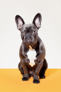 Portrait of French Bulldog Sitting Photo Art Print Mural Giant Poster 36x54 inch