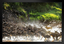 Lion Causes Commotion Among the Wildebeest Photo Art Print Framed Poster by ProFrames 20x14 inch