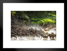 Lion Causes Commotion Among the Wildebeest Photo Art Print Matted Framed Poster by ProFrames 26x20 inch