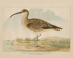 Art Classics Bristle Thighed Curlew