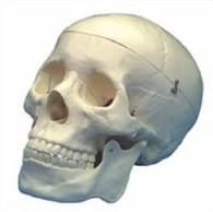 Human Skull Model (Premium)