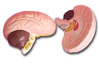 Human Brain Model