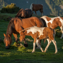 "Horse Wooden Jigsaw Puzzle ""Foal in Mountain Sunrise"""
