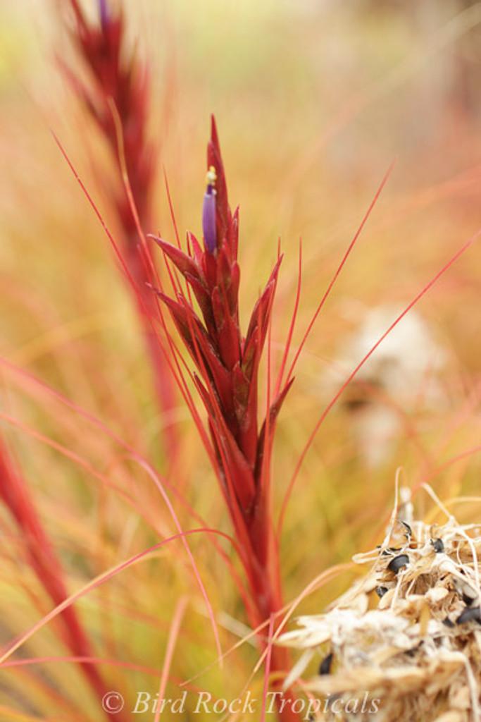 Tillandsia festucoides
