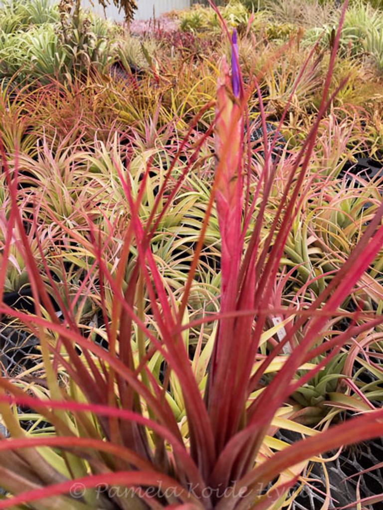 Tillandsia Petite Rouge - (T. circinatoides X tricolor)