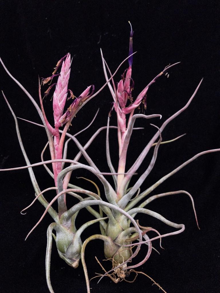 Tillandsia baileyi x paucifolia, Mexico