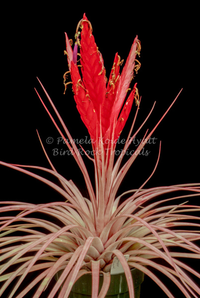 Tillandsia Dimmitt's Talent -  (T. rothii x concolor)