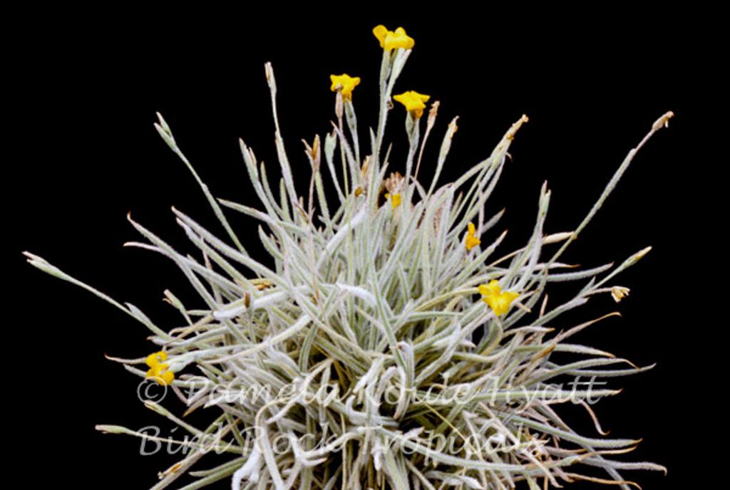 Tillandsia crocata (lg. form)