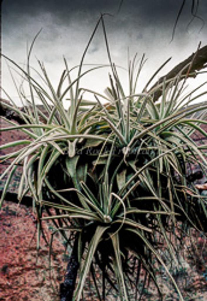 Tillandsia straminea (thick leaf form)