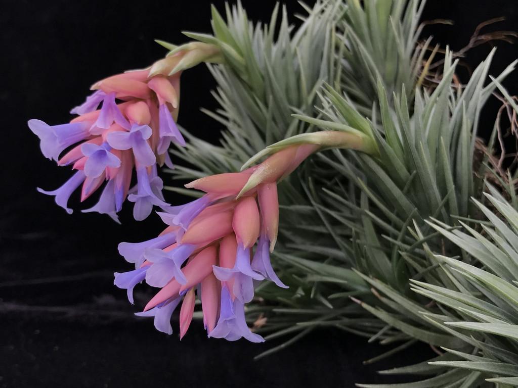 Tillandsia Blue Bells - (T. neglecta x araujei)
