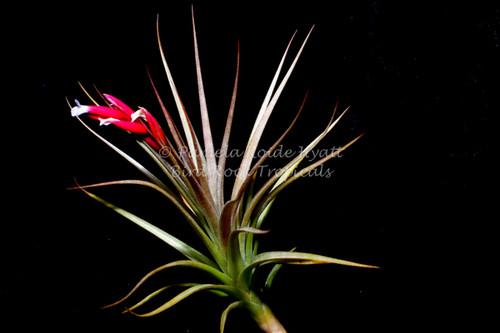 Tillandsia caulescens X aeranthos - Koide Hybrid