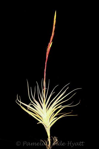 Tillandsia albida X schiedeana