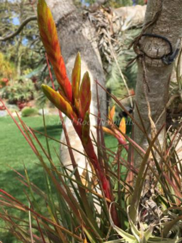 Tillandsia copalaensis
