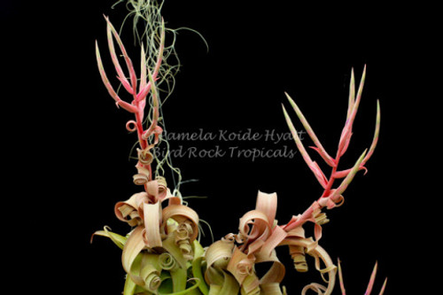 Tillandsia Curly Slim (T. intermedia X streptophylla) - Dimmitt Hybrid