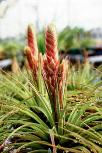 Tillandsia compressa (Jamaica)