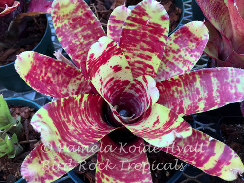 Neoregelia 'Screaming Tiger' (Neo. tricolor X N. ampulacea)