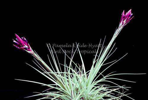 Tillandsia floribunda (Peru)