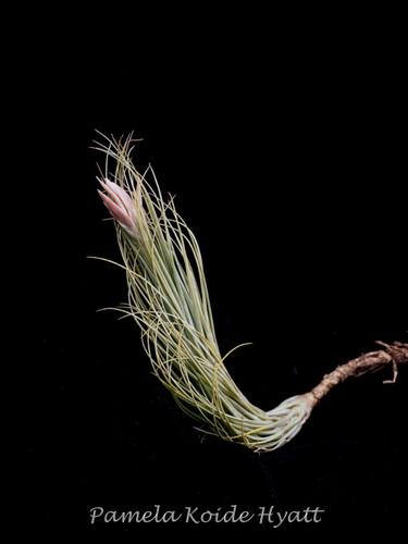 Tillandsia tomekii