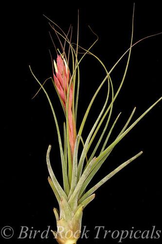 Tillandsia Bochil - (T. seleriana X schiedeana)
