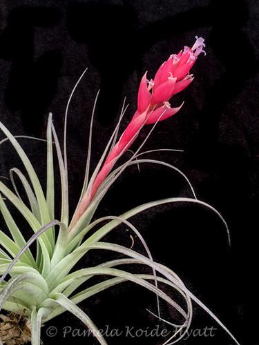 Tillandsia minasgeraisensis x meridionalis (now, recurvifolia)