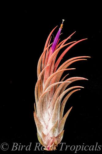 Tillandsia Mini Me (T. mitlaensis X bulbosa)
