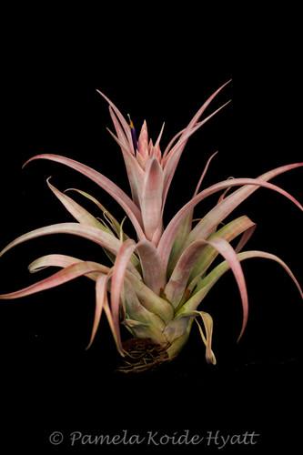 Tillandsia Pink Sorbet - (T. chiapensis X  capitata 'Rubra') - Koide Hybrid