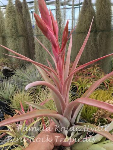 Tillandsia Mary Z -  (T. chiapensis x roland-gosselinii)