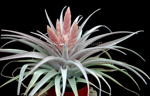 Tillandsia Queen's Delight -  (T. carlsoniae x chiapensis)