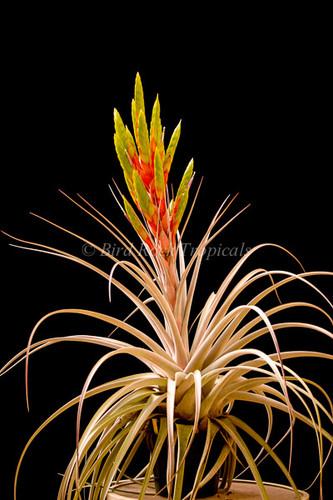 Tillandsia Silver Queen -  (T. jalisco-monticola x xerographica)