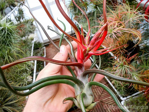 Tillandsia bulbosa (giant form)