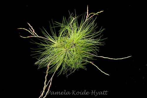 Tillandsia filifolia