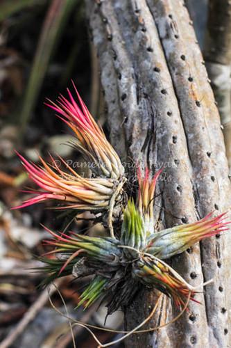 Tillandsia ionantha v. stricta forma fastigiata