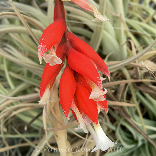"Tillandsia recurvifolia var. subsecundifolia ""Blood Orange'"
