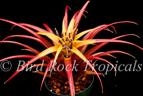 Tillandsia capitata 'Old Gold'
