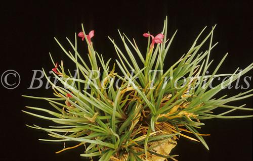 Tillandsia dorotheae