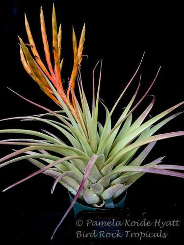 Tillandsia fasciculata v. fasciculata