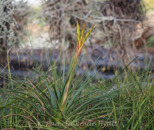 Tillandsia tricolor v. tricolor (Costa Rica)